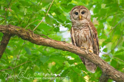 Barred owl white rock lake