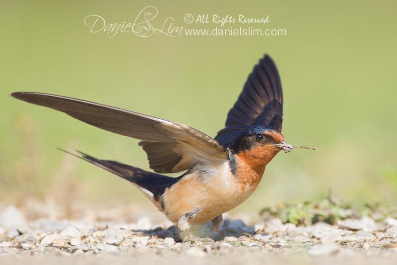 barn swallow nesting material
