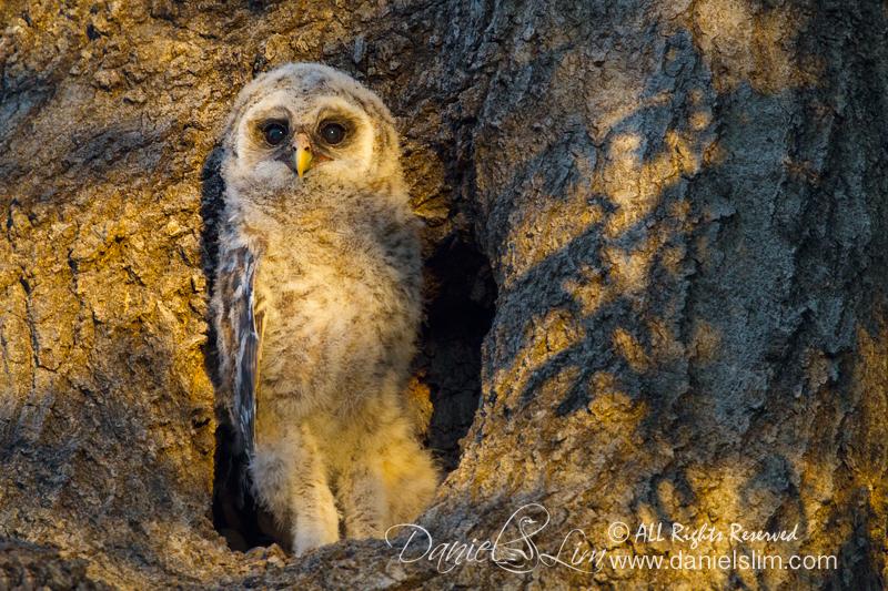 barred owlet, white rock lake