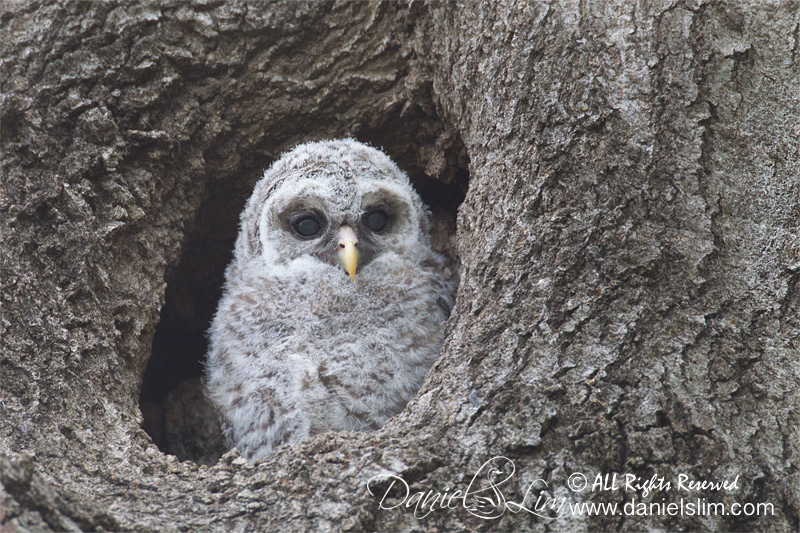 Barred Owlet White Rock Lake 2014