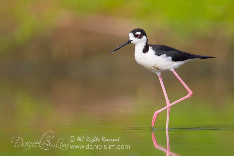 Black Necked Stilt in a Golden Pond