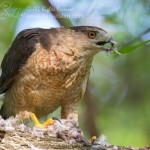 female cooper hawk eats prey