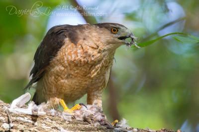 female cooper hawk eats prey