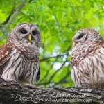 Pair of Barred Owls, white rock lake