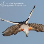 scissor-tailed flycatcher in flight