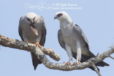 Mississippi kite mating ritual
