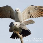 Mississippi kite mating wing spread