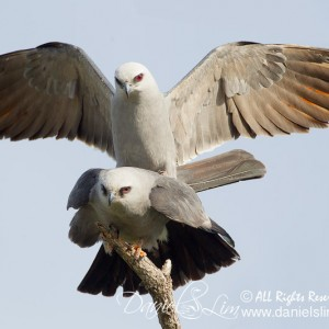 Mississippi kites Mating with Full Wingspread