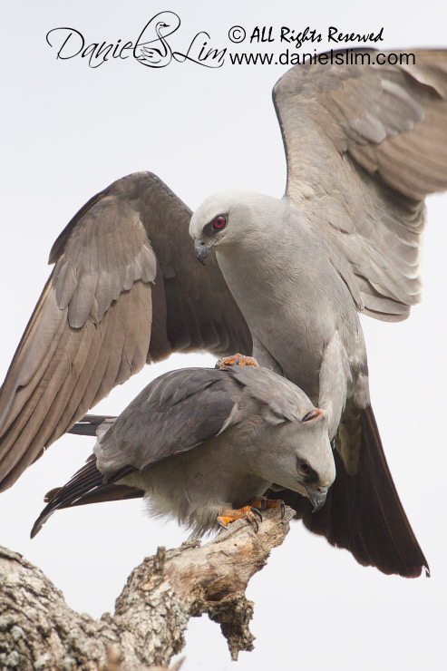 Mississippi kite mating