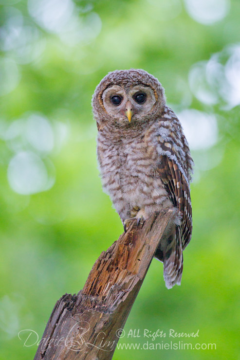 barred owl fledgling owlet