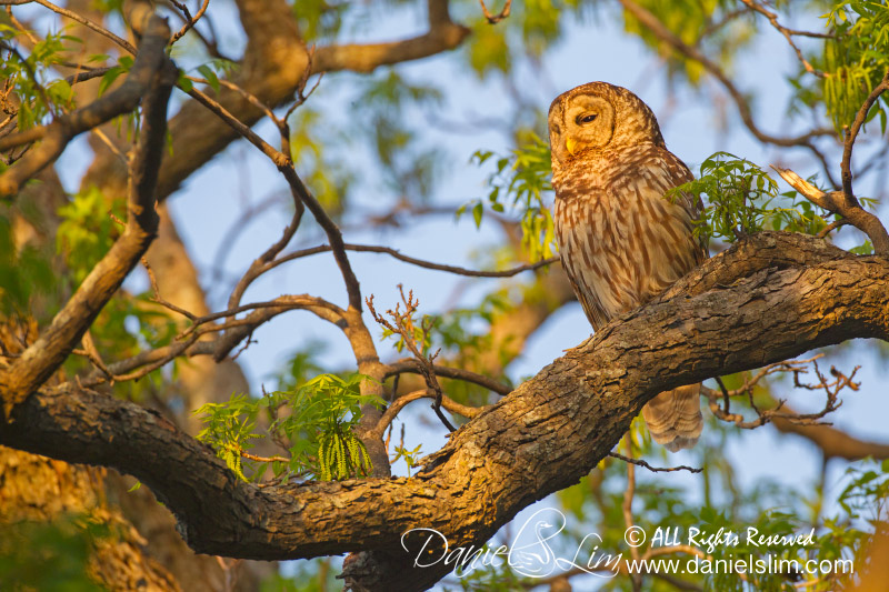 Barred owl in golden light