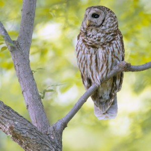 Barred Owl Perch – White Rock Lake