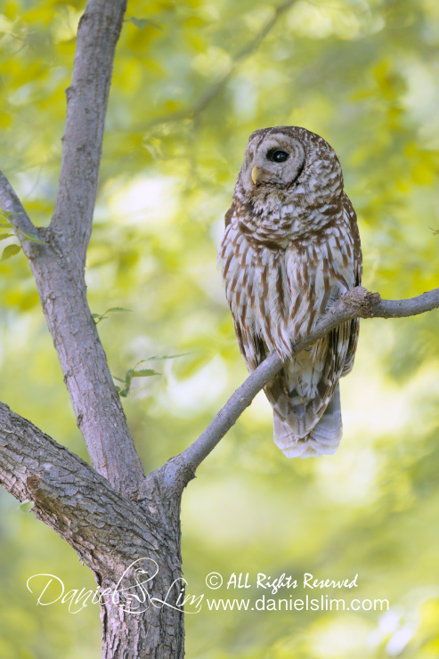 barred owl perch white rock lake