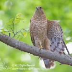 female cooper hawk display