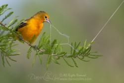 female baltimore orioles