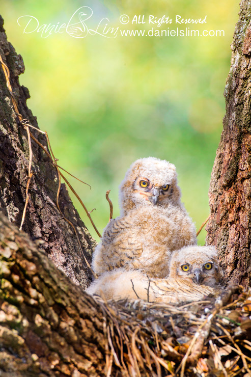 great horned owl nest owlets