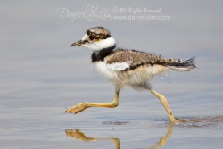 killdeer chick running