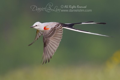 scissor-tailed flycatcher in flight full speed