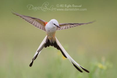 scissor tailed flycatcher in flight hover