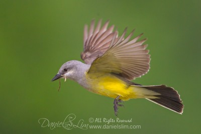 Western Kingbird in Flight with Nesting Material