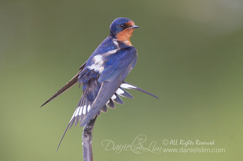barn swallow display