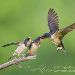 Barn Swallow Aerial Feeds Fledglings