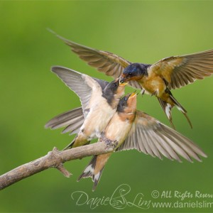 Barn Swallows Reach for Food