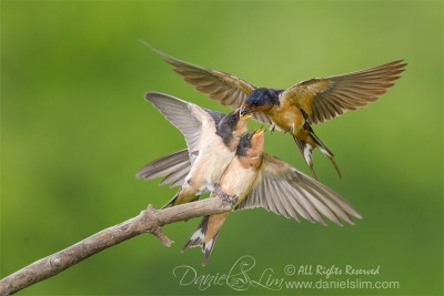 barn swallow feeding two