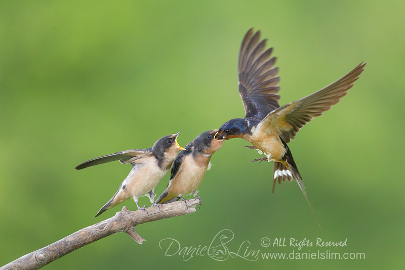barn swallow feeding