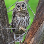 barred owl fledgling