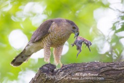 Cooper's Hawk with baby bird