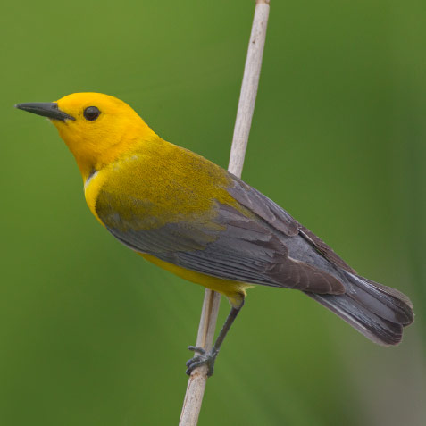 Male Prothonotary Warbler – Fort Worth Nature Center