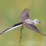 scissor tailed flycatcher take off