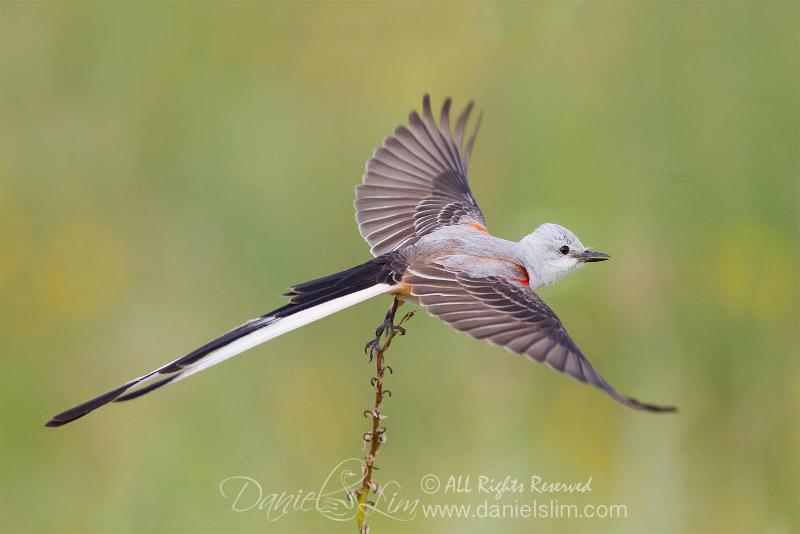 scissor tailed flycatcher take off