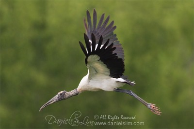 wood stork in flight at richland chambers WMA