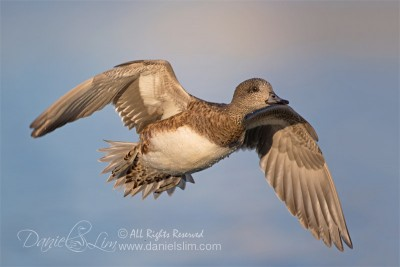 American wigeon female in fight