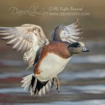 american wigeon in flight