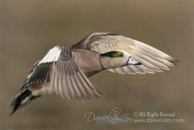 drake american wigeon in flight