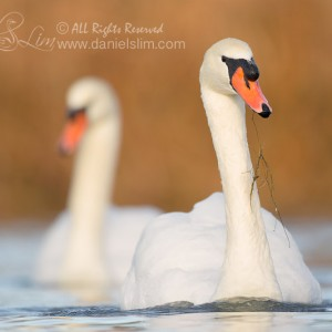 A Pair of Mute Swans