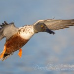 northern shoveler drake in flight