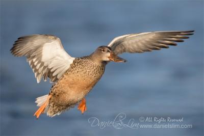 Hen Northern Shoveler In Flight
