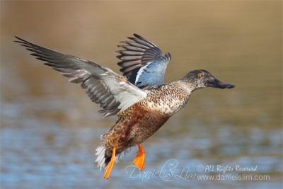 northern shoveler in flight Eclipse Plumage
