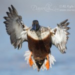 drake northern shoveler in flight incoming