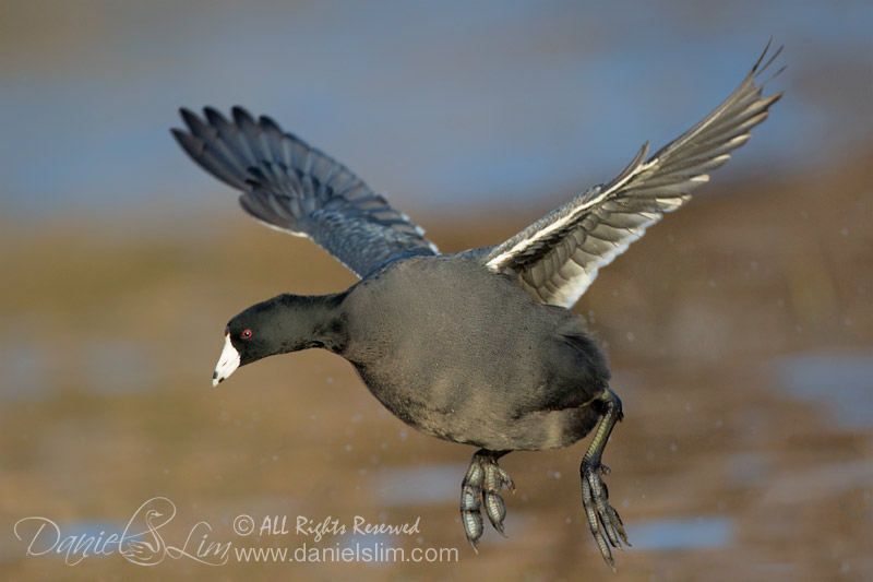american coot in fight