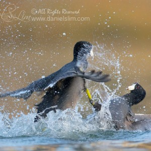 American Coot Fight
