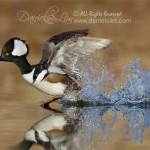 hooded merganser in fight water