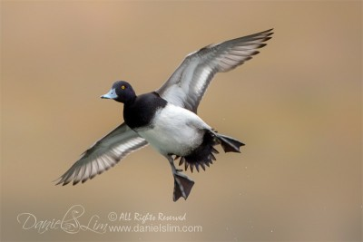 lesser scaup drake airborne in flight