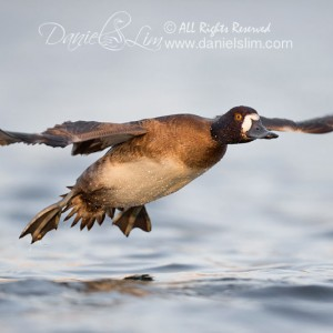 Female Lesser Scaup – Low angle in Flight