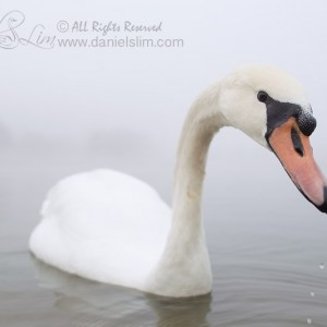 Mute Swan and A Foggy Day
