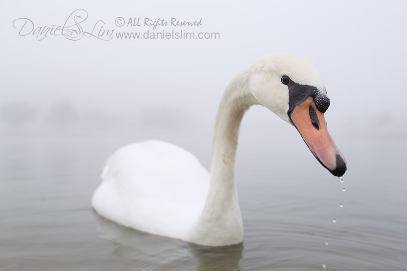 mute swan foggy morning